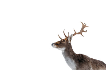 Printed kitchen splashbacks Deer Beautiful white-tailed deer in winter. Christmas concept.
