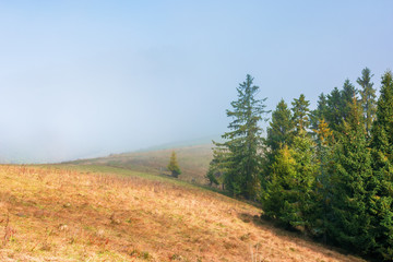 spruce trees on the grassy hillside on foggy morning. magical autumn view. beautiful nature background