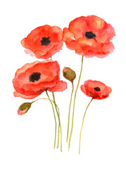 Red poppy art, watercolor painting hand drawn on isolated white background.