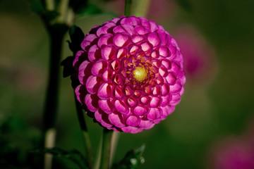 Detailed close up of a beautiful purple Zippity Do Da  dahlia flower