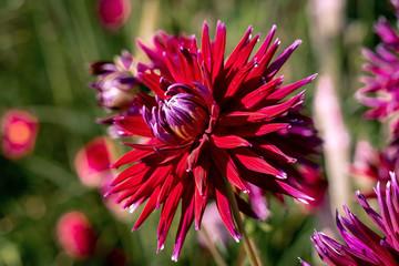 Detailed close up of  beautiful Gerry Scott cactus dahlias flowers