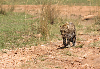 A leopard emerging out from its habitat to open grassland, Masai Mara, Kenya Wall mural