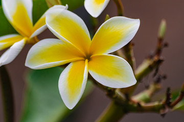Plumeria rubra flower blooming, with green leaves