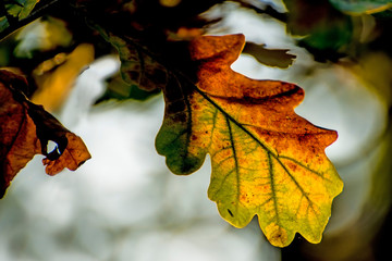 Oak leaf in back light