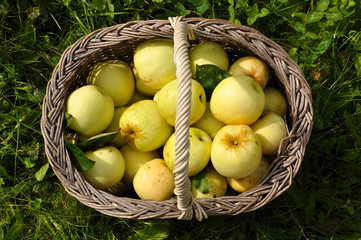 Green Apples in a basket closeup