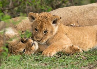 Lion cub playing, Masai Mara, Kenya Wall mural