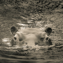 Photo on textile frame Tiger hippo cooling down in the water