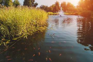 Red fish swim in the lake pond