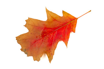 Red and brown real oak tree autumn fall leaf isolated on white background.