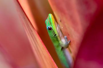 Madagascar Day Gecko (Phelsuma madagascariensis) Inside A Pink Flower