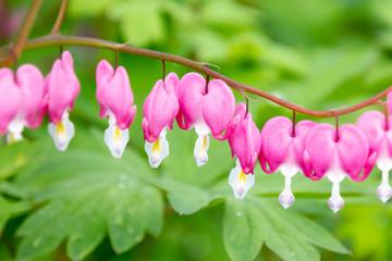 Beautiful Pink Bleeding Heart Flowers