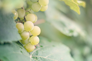 Selective focus on bunches of ripe white wine grapes on vine. Close-up image of fresh grapes hanging on vine ready to harvest. Blurred background. Copy space. Winery process. Healthy fruit concept.