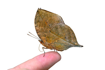 Self adhesive Wall Murals Butterfly Dead leaf butterfly , Kallima inachus, aka Indian leafwing, standing wings folded on a bamboo branch, dead leaf imitation.
