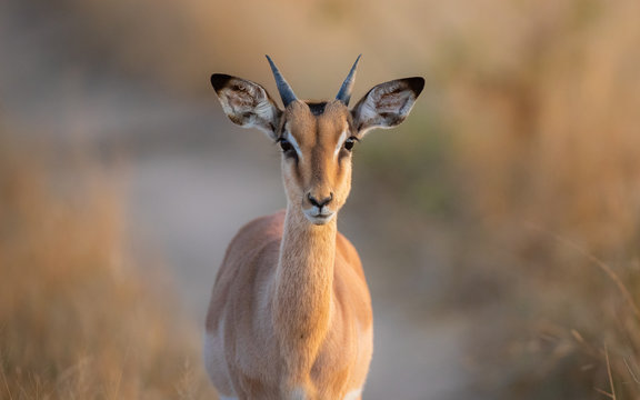 A young impala ram, Aepyceros melampus, direct gaze, small horns, ears forward