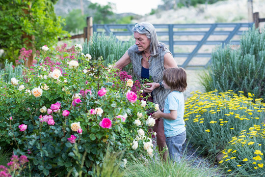 Grandmother with her grandson pruning roses in garden