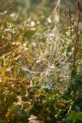 Spiderweb covered in dew in a fall meadow.