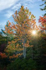 Setting sun shining through a maple tre with its fall foliage.