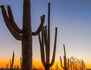 Saguaro Sunset. Silhouette of large Saguaro Cactus in bloom at the Saguaro National Park outside of Tucson, Arizona.