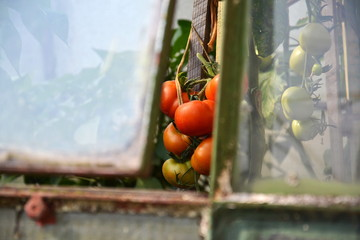 Homemade local farmers red ripe tomatoes in a greenhouse seen through window, healthy organic bio food concept
