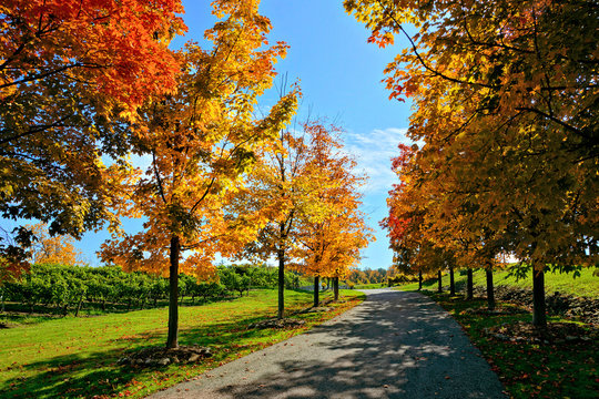 Colorful fall maple trees lining a road through vineyards in the Niagara wine region of Ontario, Canada