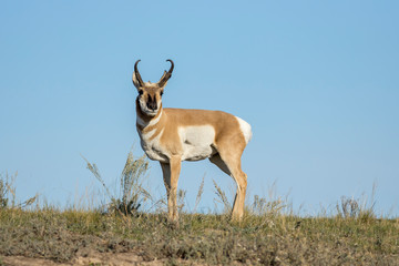 Antelope stands on a hill.