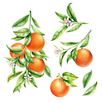 Oranges on a branch set. Isolated watercolor illustrartion of citrus tree with leaves and blossoms.