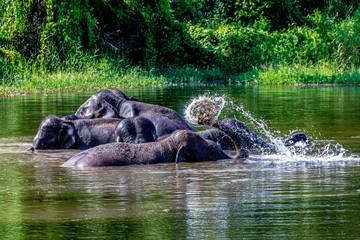 Habits of elephants in marsh
