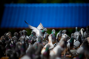 group of speed racing pigeon on home loft roof