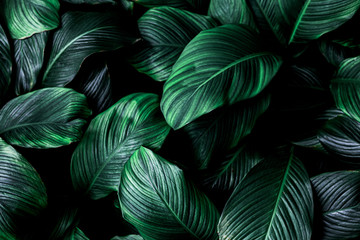 Fotobehang - leaves of Spathiphyllum cannifolium, abstract green texture, nature background, tropical leaf