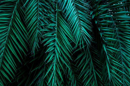 closeup tropical green palm leaves nature in the garden and dark tone background concept