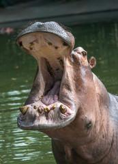 Wild predator hippo in the zoo.