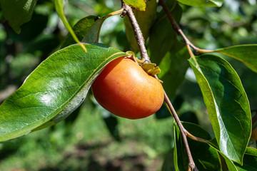 柿の実と葉
