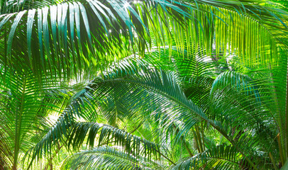 Wall Mural - Green background with  natural tropical palm leaves.  Tropical lush foliage in jungle.