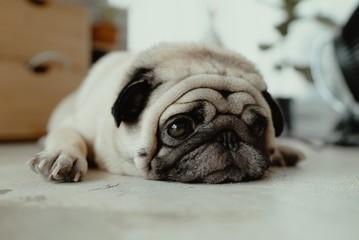 pug lying on the floor