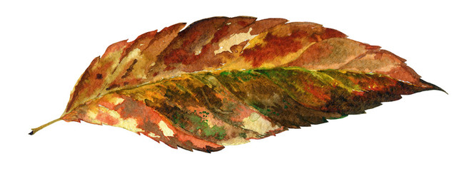 Elm tree autumn dry leaf watercolor illustration. Hand drawn Fraxinus leaf from colorful and bright seasonal tree foliage. Isolated on white background.