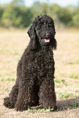 black poodle in nature