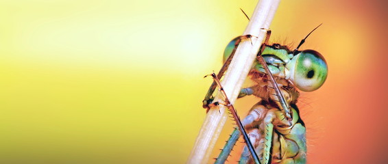 Bright orange background, with free space for text, with an image in the right corner, macro photo of a portrait of a dragonfly, with big eyes, close-up, holding on to a twig from a plant