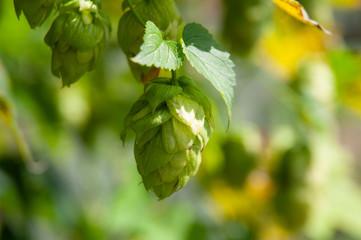 close-up of a strobile of a hop plant
