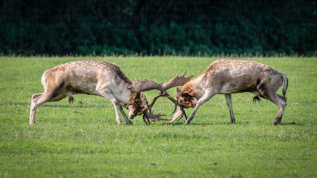 Rutting time, a pair of fallow deer bucks fighting with horns locked in battle