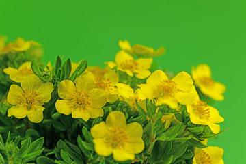 Blühender Fingerstrauch, Potentilla fruticosa