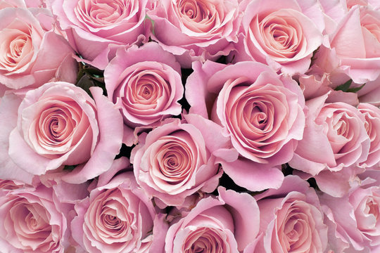 Background of  Pretty Pink Roses