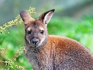 Foto op Aluminium Kangoeroe Portrait of Bennett's tree-kangaroo with bokeh background