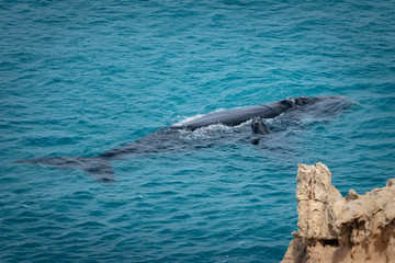 Southern Right Whale mother and calf in the warm waters of the Great Australian Bight, Australia