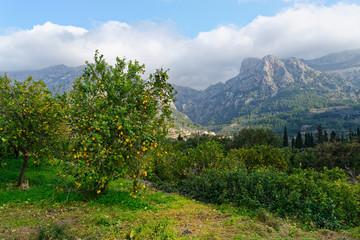 Zitronenbaum mit Blick auf das Tramuntana-Gebirge, Mallorca, Spanien