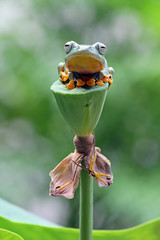 Wall Mural - Flying frog on red flower, beautiful tree frog on red flowe, animal closeup