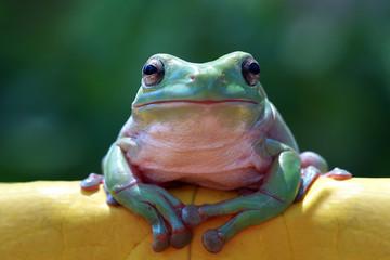 Fototapete - Australian white tree frog on leaves, dumpy frog on branch,  Australian white tree frog sitting on flowes
