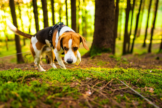 The beagle dog in sunny autumn forest. Alerted huond searching for scent and listening to the woods sounds.