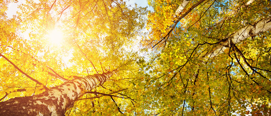 Wall Mural - trees with multicolored leaves in the park. birch foliage in sunny autumn