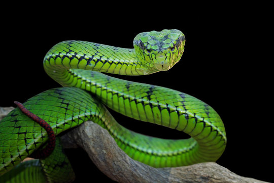 Green viper snake position attack on branch, animal closeup