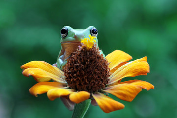 Wall Mural - Australian white tree frog sitting on flowes, dumpy frog on branch, animal closeup, amphibian closeup